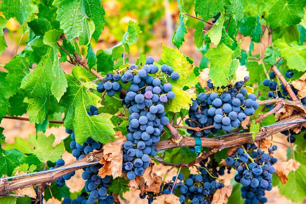 Grapes-for-the-great-Majorcan-red-wine