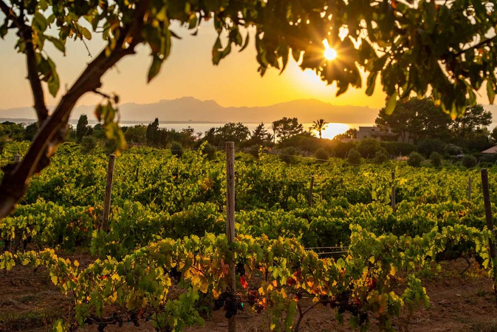 Vinyards-in-the-north-of-Mallorca-with-an-amazing-sunset